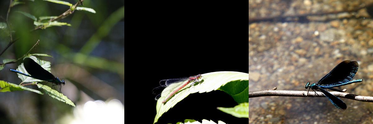 dragonflybanner